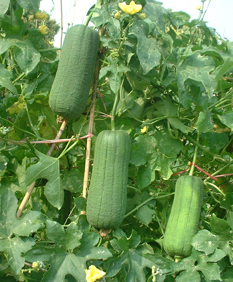 Early Maturity Short sponge gourd Seed